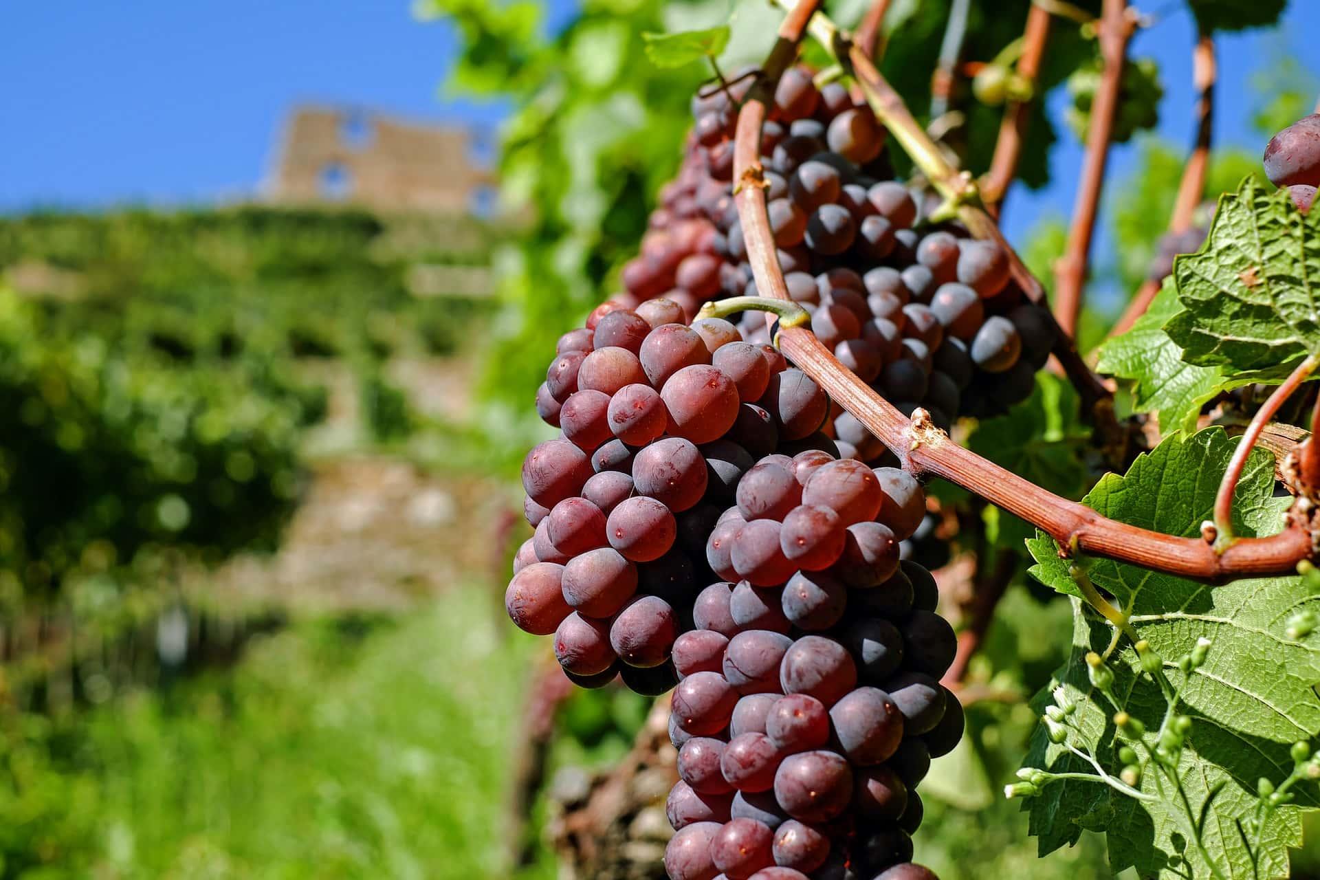 winogrono na krzaku
